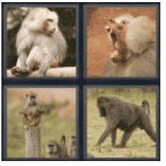 answer-baboon-2