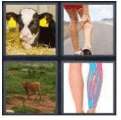 answer-calf-2