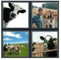 answer-cattle-2
