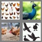 cheats-4-pics-1-word-4-letters-fowl-2216186