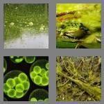 cheats-4-pics-1-word-5-letters-algae-1386350