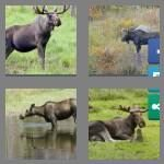 cheats-4-pics-1-word-5-letters-moose-9549159