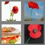 cheats-4-pics-1-word-5-letters-poppy-3146954