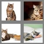cheats-4-pics-1-word-5-letters-tabby-9554134