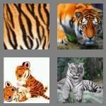 cheats-4-pics-1-word-5-letters-tiger-2665861