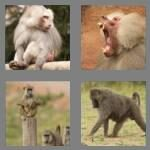 cheats-4-pics-1-word-6-letters-baboon-1705576