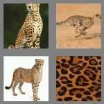 cheats-4-pics-1-word-7-letters-cheetah-5566777
