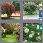cheats-4-pics-1-word-8-letters-rosebush-2135338