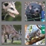 cheats-4-pics-1-word-9-letters-marsupial-7507762