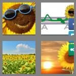 cheats-4-pics-1-word-9-letters-sunflower-9422316