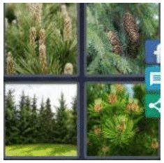 answer-conifer-2